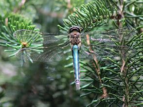 Photo: Unknown dragonfly. Unable to ID, it has grey pterostigma.