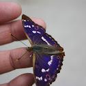 Lesser Emperor Butterfly