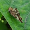 Black planthopper