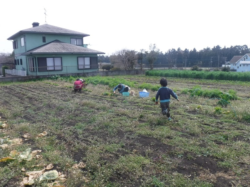 子持ち高菜収穫中