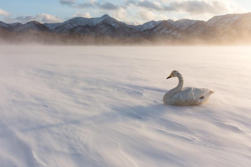 Solitary Swan di utente cancellato