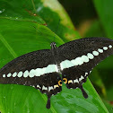 The Banded Swallowtail