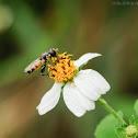 Ischiodon scutellaris 短剌刺腿蚜蠅