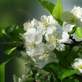 Appleblossom by Ilona Stefan - Uncategorized All Uncategorized ( white flowers )