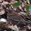 Pale thrush
