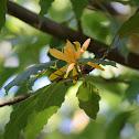 Champak Tree