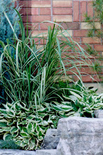 Photo: Patriot Hosta and Cosmopolitan Miscanthus Grass - contrasting texture and complimentary variegations.