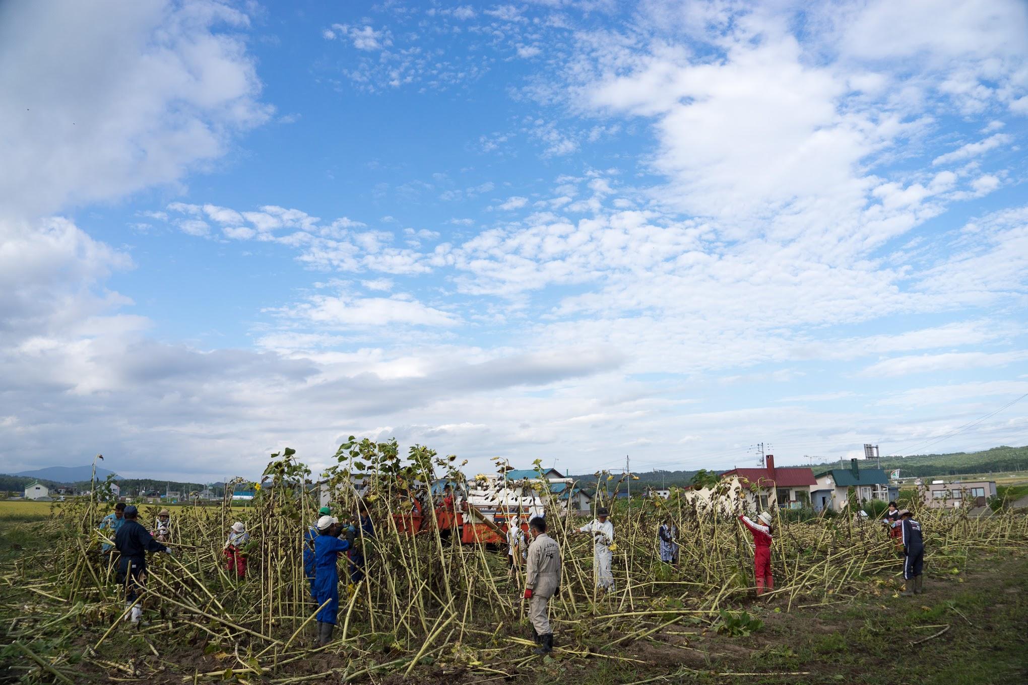 【No.13】ひまわりナッツ用のひまわりの種収穫