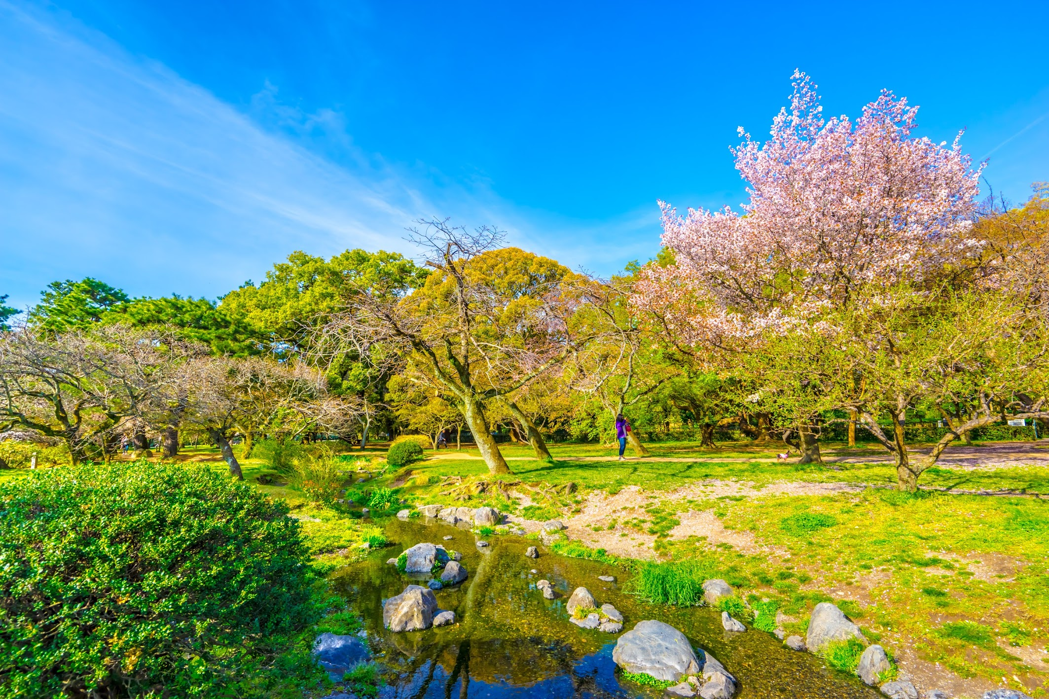 Kyoto Gyoen Demizu Stream cherry blossoms