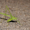 Thread-legged katydid