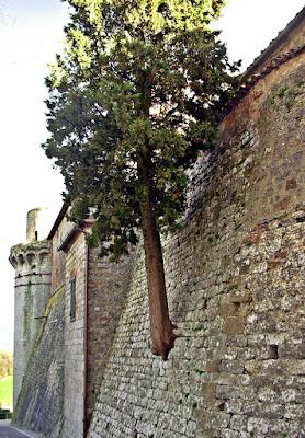 Un albero radicato nelle mura di FransuaR