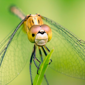 Dragonfly by Soyam Chhatrapati - Animals Insects & Spiders ( macro, macrophotography, macro photography, dragonfly )