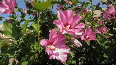Photo: Hibiscus, Zămoșiță de Siria (Hibiscus syriacus, Hibiscus trionum)  - din Turda, Parcul Teilor - 2019.07.08