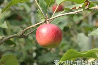 Photo: 拍攝地點: 梅峰-蘋果園 拍攝植物: 德國蘋果 拍攝日期:2012_09_27_FY