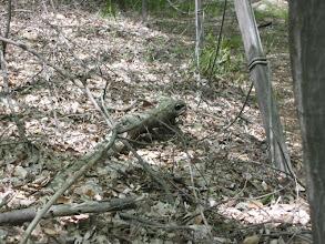 Photo: ツチノコ正体は樹の枝でした