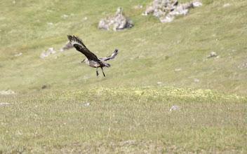 Photo: Great skua taking off  Also named skúgvur (Faroese), Stercorarius skua (Latin), Storkjove (Danish).
