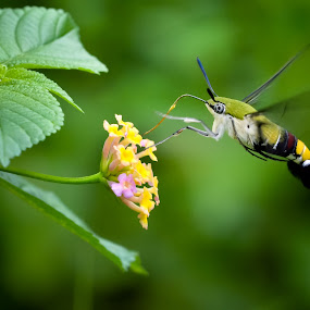 Moths by Romy Yuliawan - Animals Insects & Spiders ( hummingbird, moth, hawk )
