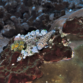 by Phil Bear - Animals Fish ( reef, coral, fish, grubfish, coral reef, maldives )