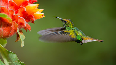 Photo: Sweet Colours of Nature  Traveling with my guests to Costa Rica, and now Ecuador is a special experience. We have such fun with amazing birds and colour to photograph. Helping people gain the skills needed to catch such images can be very awesome for sure.  Prints for purchase - http://fineartamerica.com/profiles/1-raymond-barlow.html  These locations can have hundreds of birds, so many varieties, and wonderful environment to work with. Thanks to everyone who has joined me in Africa, India, Costa Rica, Newfoundland and so many other great places!  please respect nature  ray@raymondbarlow.com  Coppery-headed Emerald in Flight RJB Colours of Costa Rica Tour Nikon D800 ,Nikkor 200-400mm f/4G ED-IF AF-S VR 1/640s f/4.0 at 380.0mm iso400  #ontario #canada #canadaphotography  #raymondbarlow #costarica #hummingbird #hummingbirdphotography #beautifulbeautifulbirds #circleshare #circlesharing #circleoftheday #saturdaycircleshare  #nature #travel #wildlifephotographers #wildlife #birdloversworldwide #birdsinflight #birdsinfocus  #hqspbirds #birdsgallery #birds4all #photomaniacanada #naturephotography #birds #birdsinflight  #birdphotography  #birdphotographs #googlephotos #googlephotography #wildlifephotographer  #raymondbarlownaturephototours #travelphotography #10000photographers