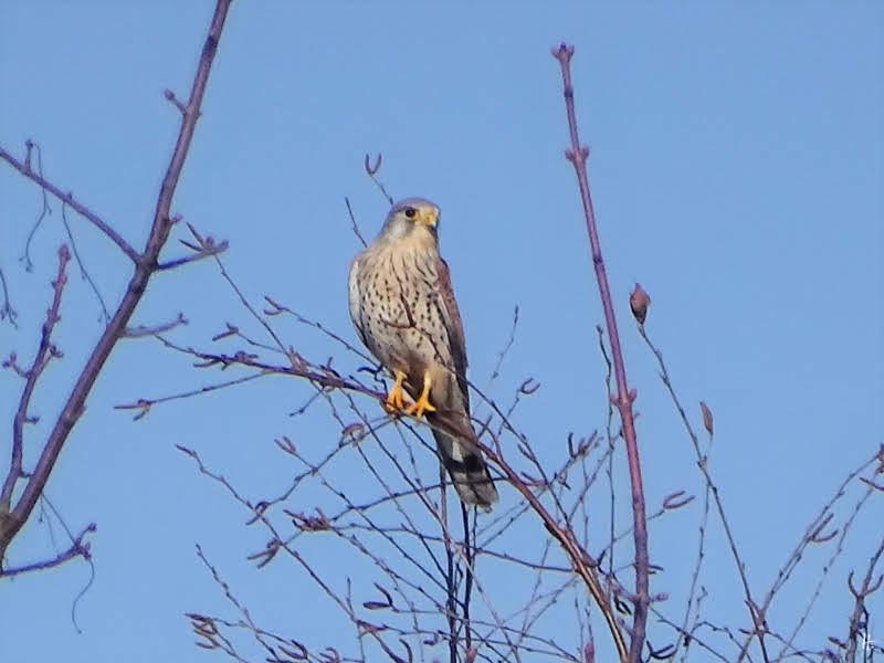 2019-02-25 bLüchowSss Turmfalke (Falco tinnunculus) (1)