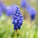 Grape-hyacinth