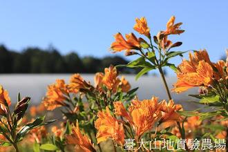 Photo: 拍攝地點: 梅峰-一平臺 拍攝植物: 百合水仙 拍攝日期:2012_10_23_FY