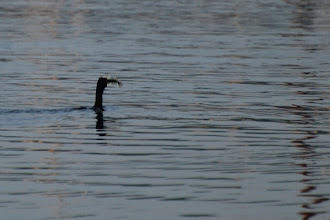 Photo: Cormorant fishing in New Harbor