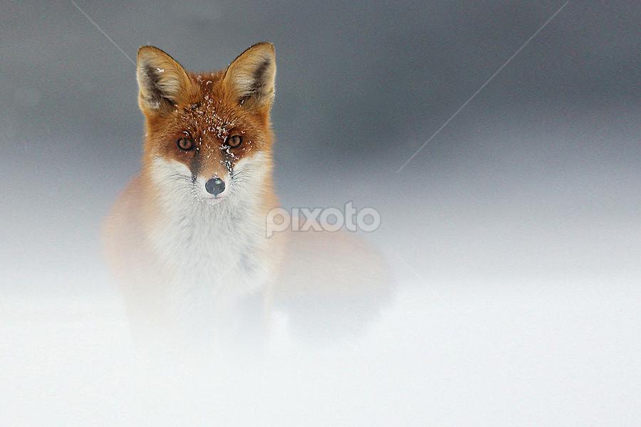 Under the snow by Gérard CHATENET - Animals Other Mammals (  )