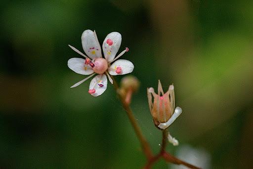 Saxifraga spathularis