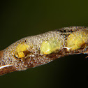 Froghopper nymphs