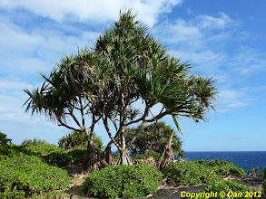 Photo: Cet arbre est un vacoa
