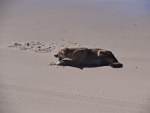 Photo: Dingo