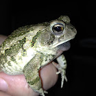 Fowler's Toad male