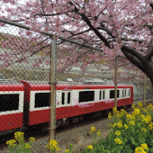 Japan:MiurakaiganCherry(JP242)
