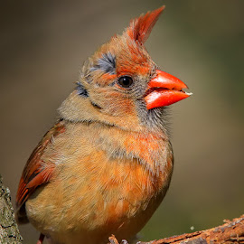 Bad Hair Day by Mike Craig - Animals Birds ( cardinal, bright, female, beautiful, pretty )