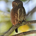 Brazilian Burring Owl