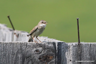 Photo: An Acrocephalus warbler does his thing
