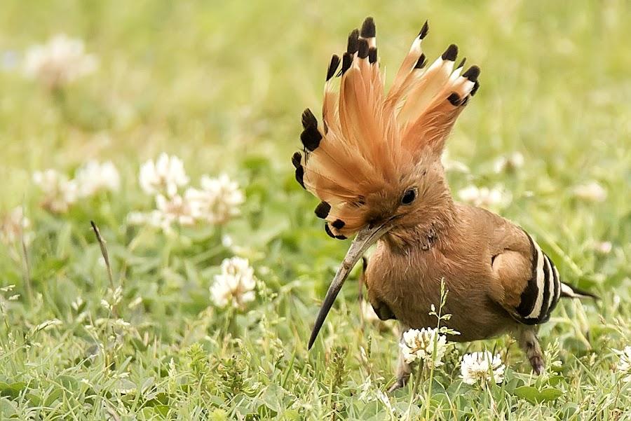 Common hoopoe by Partha Sarkar - Animals Birds ( bird, common hoopoe, hoopoe, birds,  )