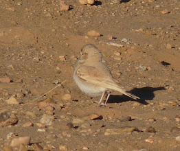 Photo: Allodola del deserto minore - Ammomanes cincturus - Bar-tailed Lark