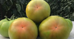 El tomate Corredor de Hazera, un 'clásico' con dos años de vida.
