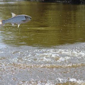 Flying Asian Carp by Sidney Vowell - Novices Only Wildlife