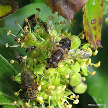 Photo: Flies galore on Ivy flowers. Apart from the 3 big flies, can you count how many tiny ones there are? I can spot eight!