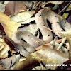 Hump-nosed Pit Viper