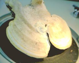 Photo: Daedalea ambigua (top)
