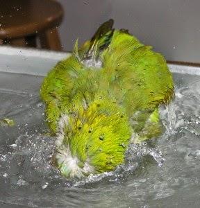 parrot-splashing-02-288x300.jpg