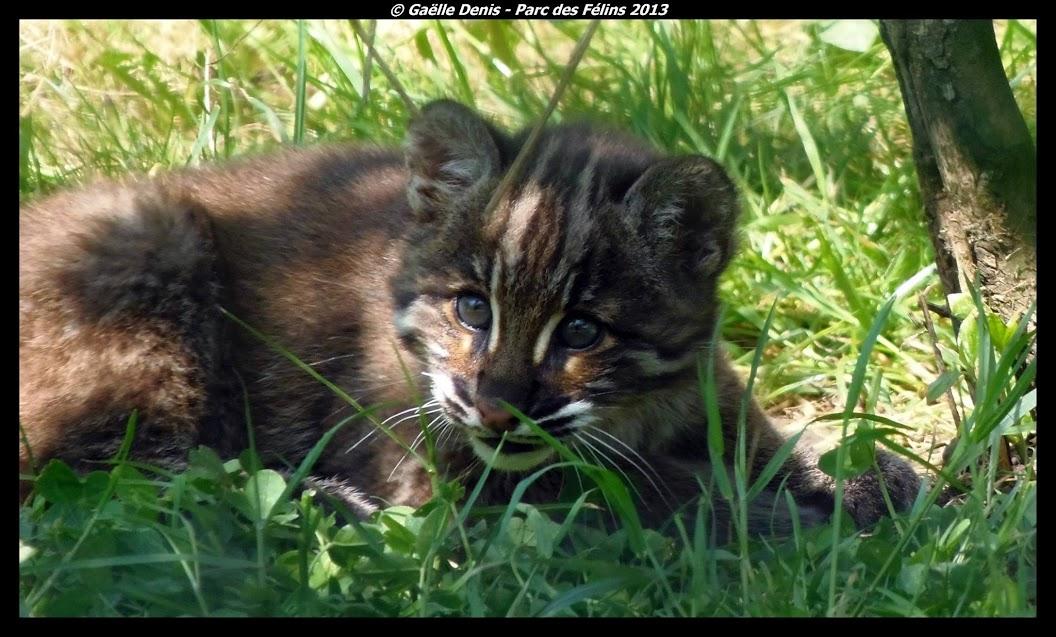 Bébé chat de Temminck, Parc des Félins - Tous droits réservés Gaëlle Denis
