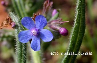 Photo: ΑΓΧΟΥΣΑ Η ΧΛΟΑΖΟΥΣΑ (ΜΠΛΑΒΗ) anchusa cespitosa ΚΑΛΑΜΑΥΚΑ ΙΕΡΑΠΕΤΡΑΣ Ανήκει στην οικογένεια των Βοραγινιδών. Φυτρώνει σε όλη την Ευρώπη, κύρια όμως στη νότια. Στη χώρα μας συναντούμε 15 περίπου είδη άγχουσας Το όνομα του φυτού προέρχεται από την αρχαία ελληνική λέξη αγχουσίζομαι που σημαίνει χρησιμοποιώ άγχουσα, βάφω, χρωματίζω (κυρίως το πρόσωπο).  Ο Διοσκουρίδης αναφέρει ότι η προσθήκη του φυτού στο κρασί το έκανε «ευφρόσυνο» Ανθίζει από τον Ιούνιο έως τον Οκτώβριο. Το υπέργειο τμήμα συλλέγεται κατά την εποχή της πλήρους άνθισης και για θεραπευτικούς σκοπούς χρησιμοποιούνται τα φύλλα και τα άνθη του φυτού. Η ρίζα συλλέγεται το φθινόπωρο