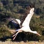 White Stork; Cugüeña Blanca