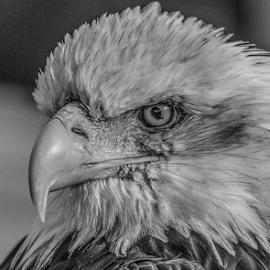 Dollar by Garry Chisholm - Black & White Animals ( raptor, bird of prey, nature, bald eagle, garry chisholm )