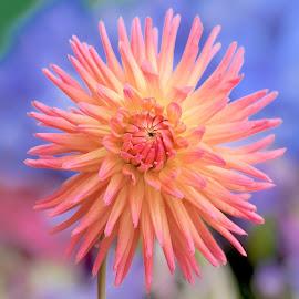 Orange flower by Jim Downey - Flowers Single Flower ( orange, blue, details, petals, flower )